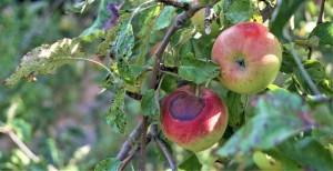 pomme peau brulee