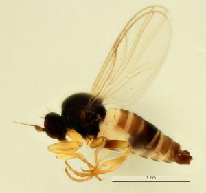 La mouche Drapetis bruscellensis a été récoltée en 2015, au Jardin Massart (Auderghem). (Cliquer pour agrandir)