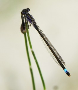 Agrion nain (mare temporaire). © Maxime Seleck