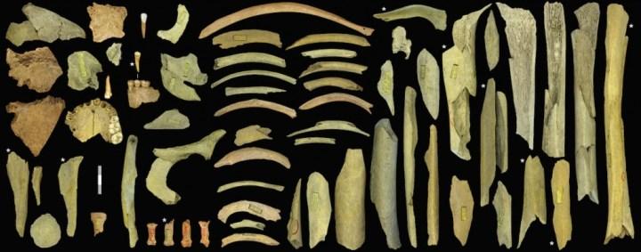 Collection des ossements néandertaliens de la Troisième caverne de Goyet appartenant à au moins cinq individus. Les os avec un * ont été datés au carbone 14 : ils sont vieux de 40 500 à 45 500 ans. © IRSNB