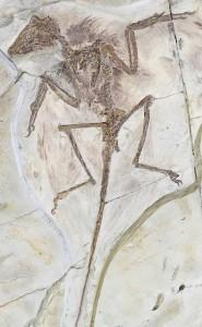 Moulage d'un fossile de Microraptor doté de plumes. (Cliquer pour agrandir)