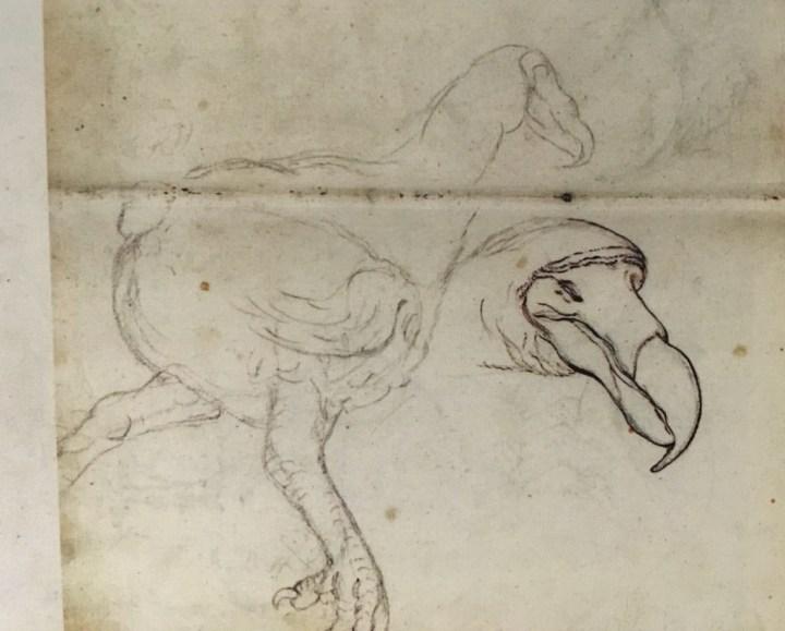 En 1602, les premières descriptions du dodo le présentaient comme un oiseau plus athlétique…