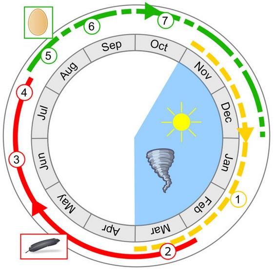 Ce diagramme résume les principales conclusions de cette recherche. La zone bleue indique la période estivale où les tempêtes se produisent, entre novembre et mars. La ligne rouge indique l'éventuelle période de mue, après l'été tandis que la ligne marque la période de reproduction probable. 2 - Début de la mue; 3 - Mélange entre le plumage doux et les nouvelles plumes comme décrit dans les documents historiques; 4 - Fin de la période de mue, lorsque toutes les plumes sont renouvelées; 5 - Dans le cas des femelles, la période de reproduction commence par l'ovulation; 6 - Ponte et éclosion des oeufs; 7 - Les poussins se développent rapidement avant la prochaine saison de tempêtes