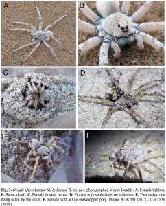 Araignée-loup blanche. Cliquer pour agrandir