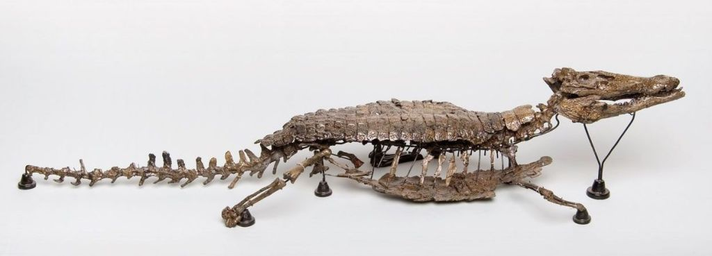 Spécimen de Bernissartia fagesii, exposé à l'Institut royal des Sciences naturelles de Belgique (Bruxelles). © IRSNB