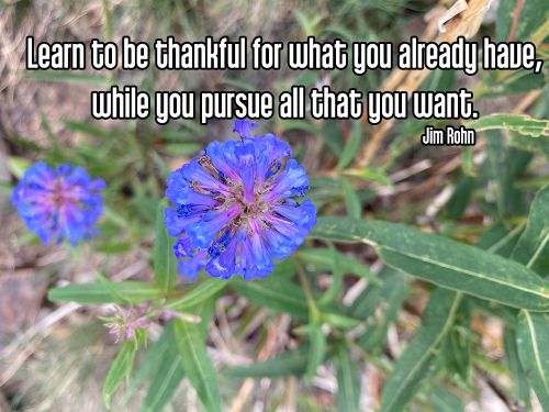 close-up bright blue flower with fuzzy background of green grass and leaves and brown rocks - aparigraha non-attachment gratitude Quote: Learn to be thankful for what you already have, while you pursue all that you want. - Jim Rohn