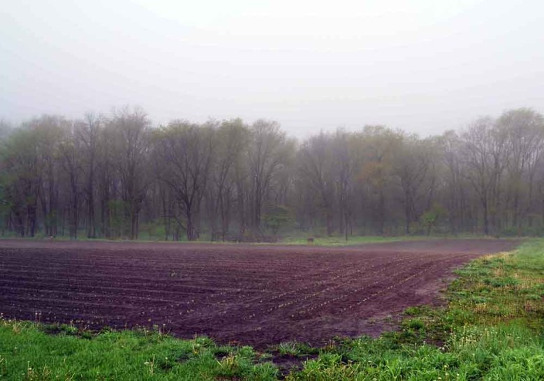 Corn sprouts in a field bordered by trees on Warren Road in northern McDonough County. Small fields bordered by trees are a rarity in this area of intensive, large-scale farming. Photo by Timothy Collins