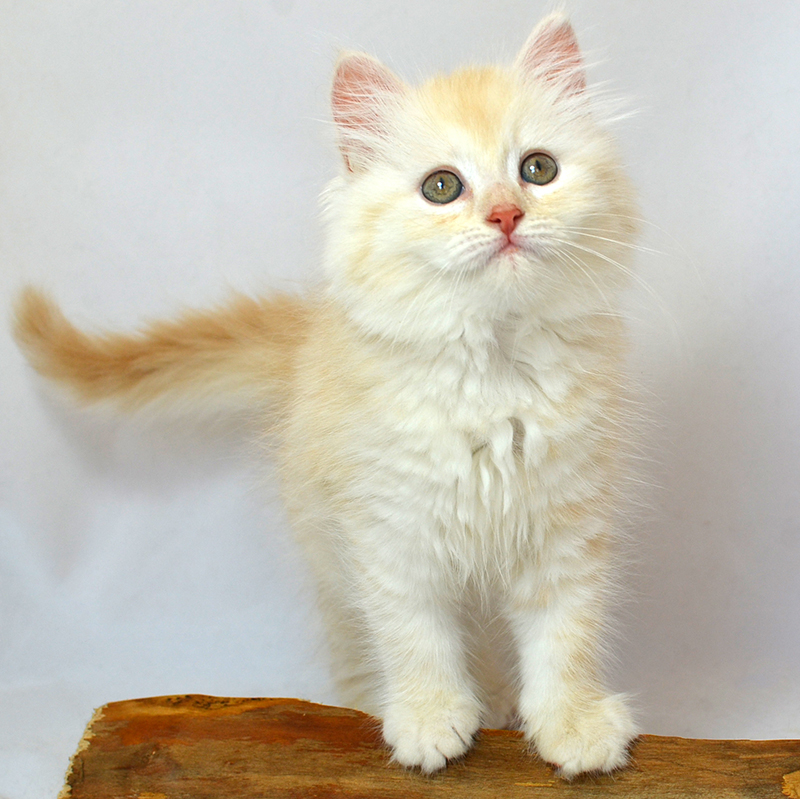Red silver mackerel female Siberian kitten at Cartier Siberians. Photo November 6, 2015.