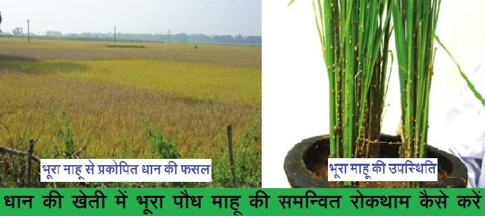 धान की खेती में भूरा पौध माहू
