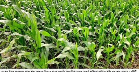 আত্রাইয়ে রেকর্ড পরিমাণ জমিতে ভুট্টা চাষ:বাম্পার ফলনের সম্ভাবনা