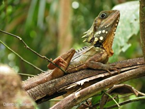 Boyd's Forest Dragon breeding season in the Daintree