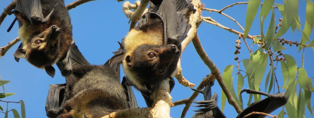 daintree-safaris-flying-foxes