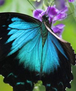 daintree-safaris-ulysses-butterfly