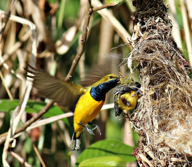 Male Sunbird feeding his chick