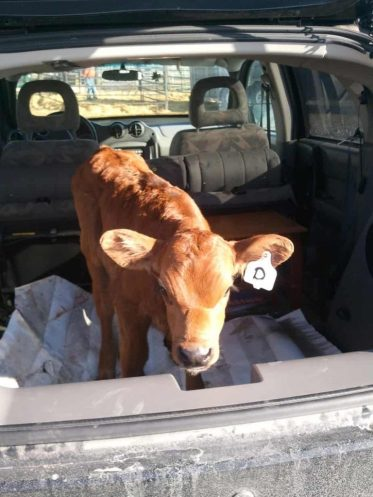 Note this is not the same calf as the first photo.