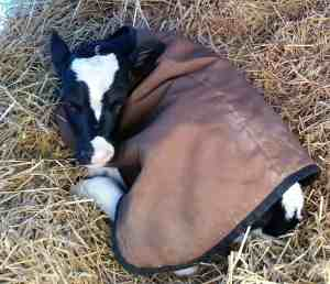 This is the first calf that was born. She needs a name!
