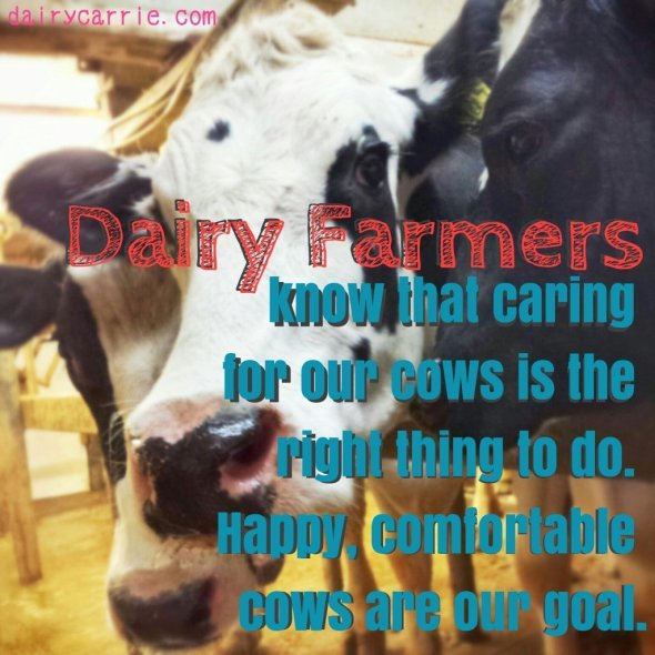 Do dairy farmers care about their cows?