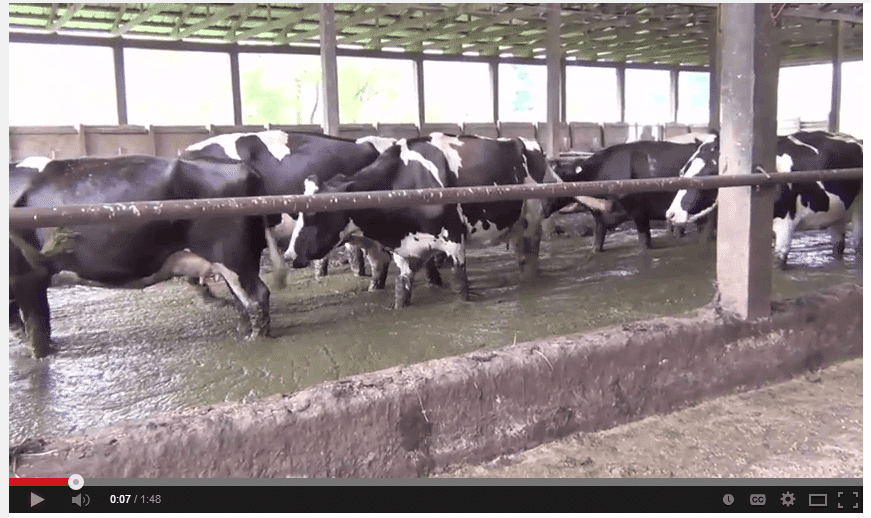 Peta Video from Dairy Farm