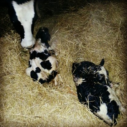twin holstein calves