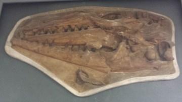 Fossil of Dinosaur Skulls