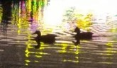 Ducks Swimming in Pool in Front of Neon 206