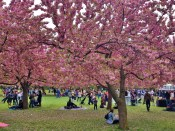 Cherry Trees Thick at the Esplanade