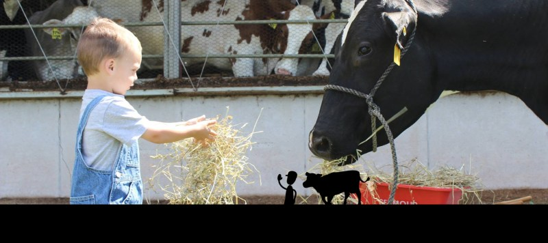Child feeding hay to a Cow - Kewaunee County Dairy Promo