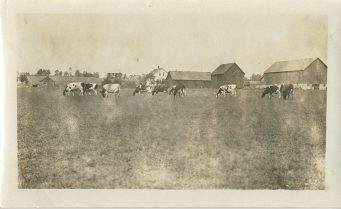 Cows out to pasture (Junion Homestead Farm)