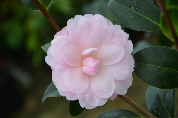 very light pink camellia flower with leaves in the background.
