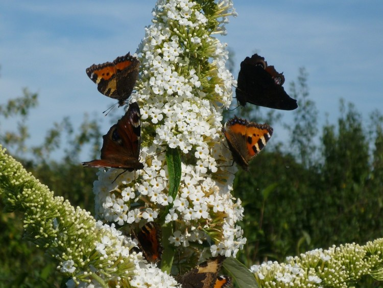 White Butterfly Bush flowering shrubs with butterflies on it.