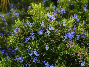 Use Rosemary herb for companion planting. Rosemary bush is in bloom and has purple flowers.