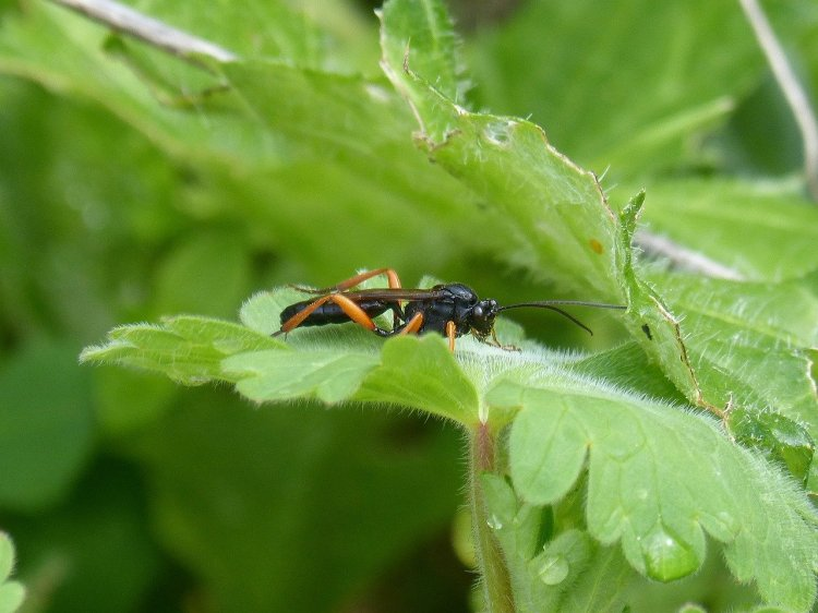 Ichneumon parasictic wasp with yellow legs, black thorax, and black head with long antannaes.