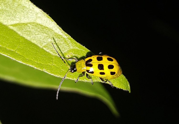 the spotted cucumber beetle. yellowish-green back with black spots