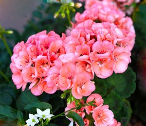 Pink geranium plant.