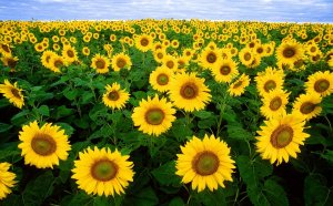 A field of yellow sunflowers with green stocks, all facing toward you.