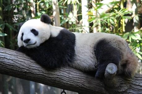 November - Panda at San Diego Zoo