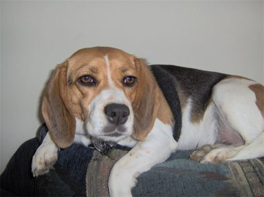 Daisy the beagle