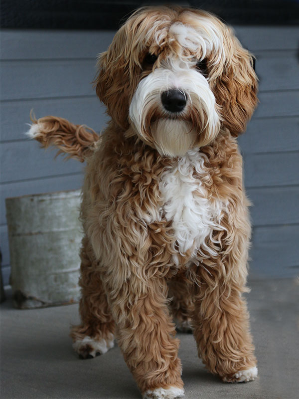Perfect Australian Labradoodle
