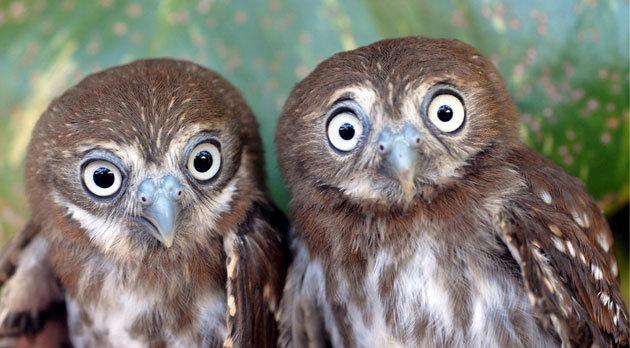 shocked-owls