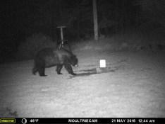 Bear Walking Toward The Salt Lick.