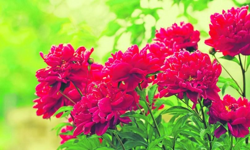 image-47,红牡丹