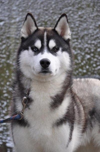 Сибирский хаски - описание, фото, уход, где купить щенка ...