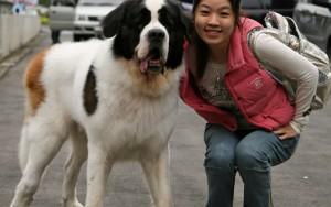 Порода собаки из фильма «Бетховен»: фото, название, цена ...