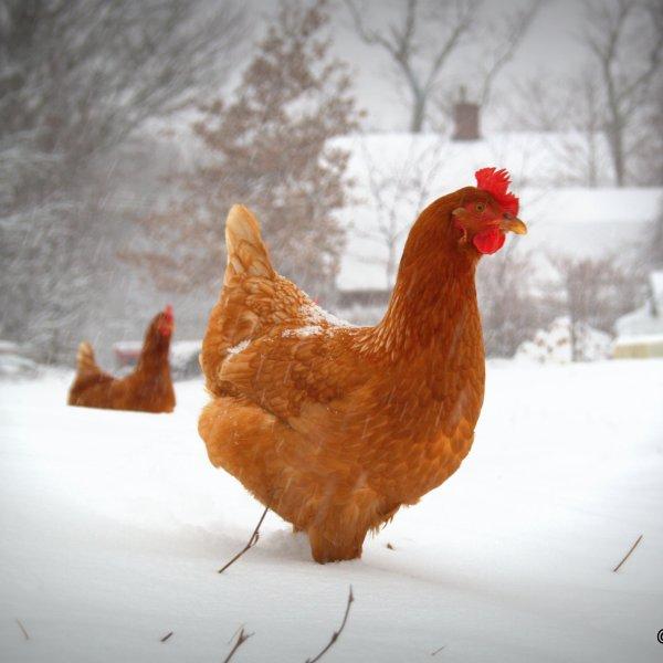 Chicken-snow
