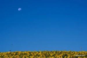 full-moon-sunflowers