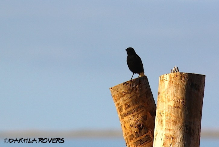 Dakhla Rovers: Black Wheatear, Oenanthe leucura, #DakhlaNature @iNaturalist