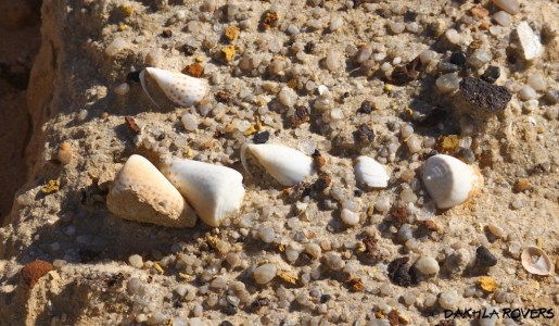 Dakhla Rovers: Cone shells, #DakhlaNature @iNaturalist