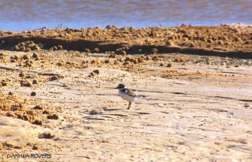 Dakhla Rovers: Plover, Charadrius sp., #DakhlaNature @iNaturalist