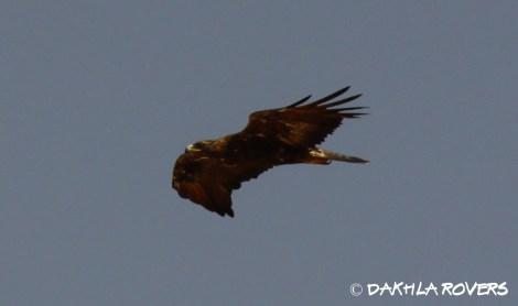 Dakhla Rovers: Golden Eagle, Aquila chrysaetos, #DakhlaNature @iNaturalist