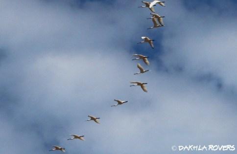 Dakhla Rovers: Eurasian Spoonbill, Platalea leucorodia, #DakhlaNature @iNaturalist